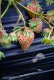 Rosa Unripe stawberrys Arkivbild
