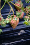 Pink Unripe stawberrys Stock Photography