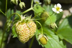 Unripe strawberries Royalty Free Stock Images