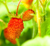 Unripe strawberries on branch Royalty Free Stock Photo