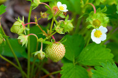 Unripe strawberries on branch Stock Images