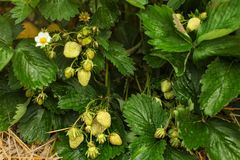 Unripe strawberries, green leaves around, some straw under; stra. Wberry farm field royalty free stock photography