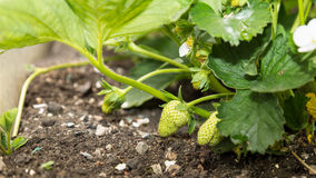 Unripe Strawberries Stock Image