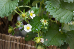 Unripe strawberries growing on the farm Royalty Free Stock Images