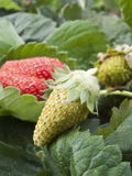 Unripe strawberry Stock Photography