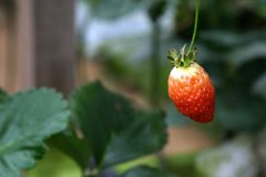 Unripe Strawberry. In a farm Royalty Free Stock Photos