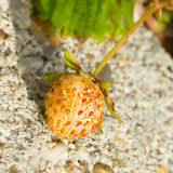 Unripe strawberry in a farm Royalty Free Stock Photos