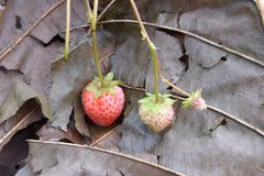 Unripe strawberry Stock Photo