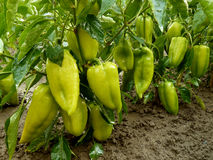 Unripe sweet peppers Stock Photo
