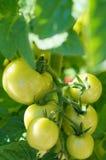 unripe tomat Arkivbild