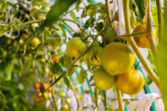 Unripe tomato on a branch. In the greenhouse Stock Photo