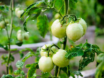 Unripe tomato Stock Image