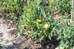 Unripe tomato fruits on bushes in garden Royalty Free Stock Photo
