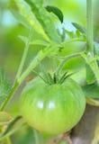 Unripe tomato in garden Royalty Free Stock Photo