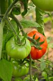 Unripe tomato Royalty Free Stock Photos