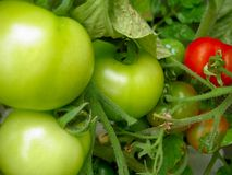 Unripe Tomato Plant. Unripe tomatoes growing on a tomato plant Royalty Free Stock Image