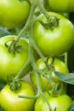 Unripe Tomatoes Royalty Free Stock Image