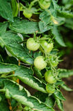 Unripe tomatoes Stock Photos