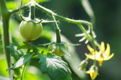 Unripe tomatoes on a branch Stock Photo