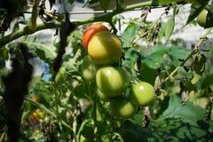 Unripe Tomatoes stock photos