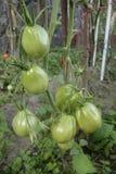 Unripe tomatoes Royalty Free Stock Image