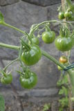 Unripe tomatoes Royalty Free Stock Photo