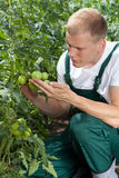 Unripe tomatoes in a garden Stock Photos