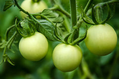 Unripe Tomatoes Royalty Free Stock Photography