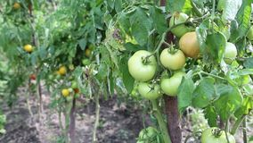Unripe tomatoes in hothouse stock footage