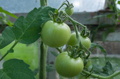 Unripe tomatoes Stock Photography