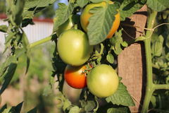 Unripe tomatoes. Tomatoes ripening on the vine royalty free stock photos