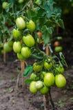 Unripe tomatoes. Tomato plant with unripe fruits royalty free stock photo
