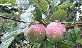 Unripe apples on a branch with leaves. Unripe, ummature apples on a branch with leaves. Dew drops royalty free stock photography