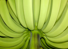 Unripe unblemished bananas Stock Photos