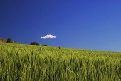 unripe vete för fält Arkivbilder