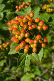 Unripe viburnum bunch Royalty Free Stock Image