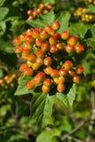 Unripe viburnum bunch. Close-up of unripe viburnum bunch Royalty Free Stock Image