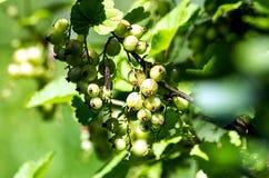 unripe vinbär Royaltyfri Foto