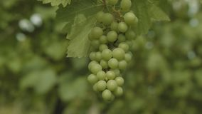 Unripe Vine Grapes In Grapevine Field At Summer. Close Up Of A Green Unripe Grapevine In A Grapevine Field At Summer stock video footage