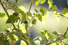 Unripe vine tomato Stock Images