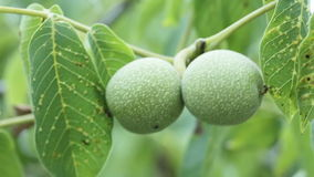Unripe walnut. On background of greenery immature walnuts stock video footage