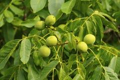 Unripe walnuts Stock Image