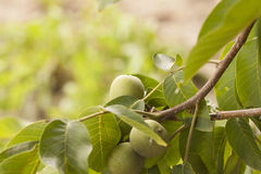 Unripe walnuts on a branch. Against the sky Stock Photos