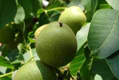 Unripe walnuts on the tree branch macro shot Royalty Free Stock Photos