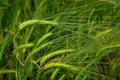 Unripe wheat Stock Photography