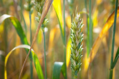 Unripe wheat Stock Photo