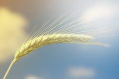 Unripe Wheat on blue sky Royalty Free Stock Photos
