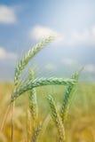 Unripe Wheat on blue sky Stock Photo