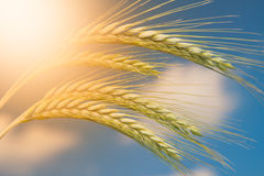 Unripe Wheat on blue sky Stock Photos