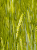 Unripe wheat ear on background of cereal field Royalty Free Stock Photos